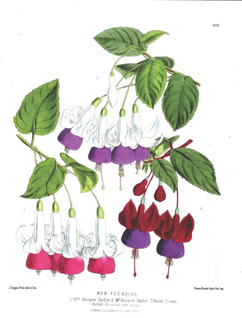 New Fuchsias - The Floral Magazine 1880