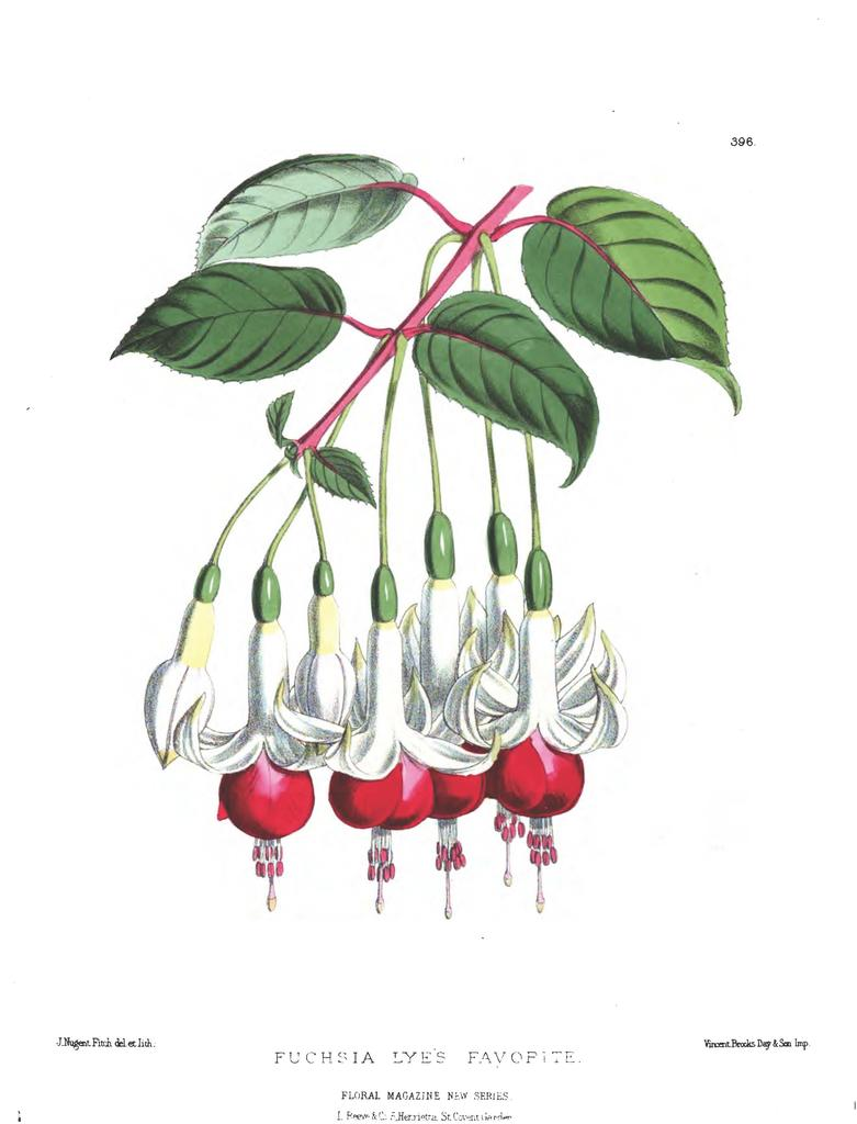 Fuchsia, Lye's Favorite - The Floral Magazine - 1880
