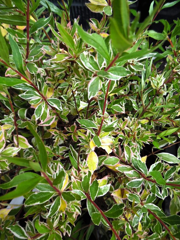Abelia X Grandiflora Confetti Conti Pbr V