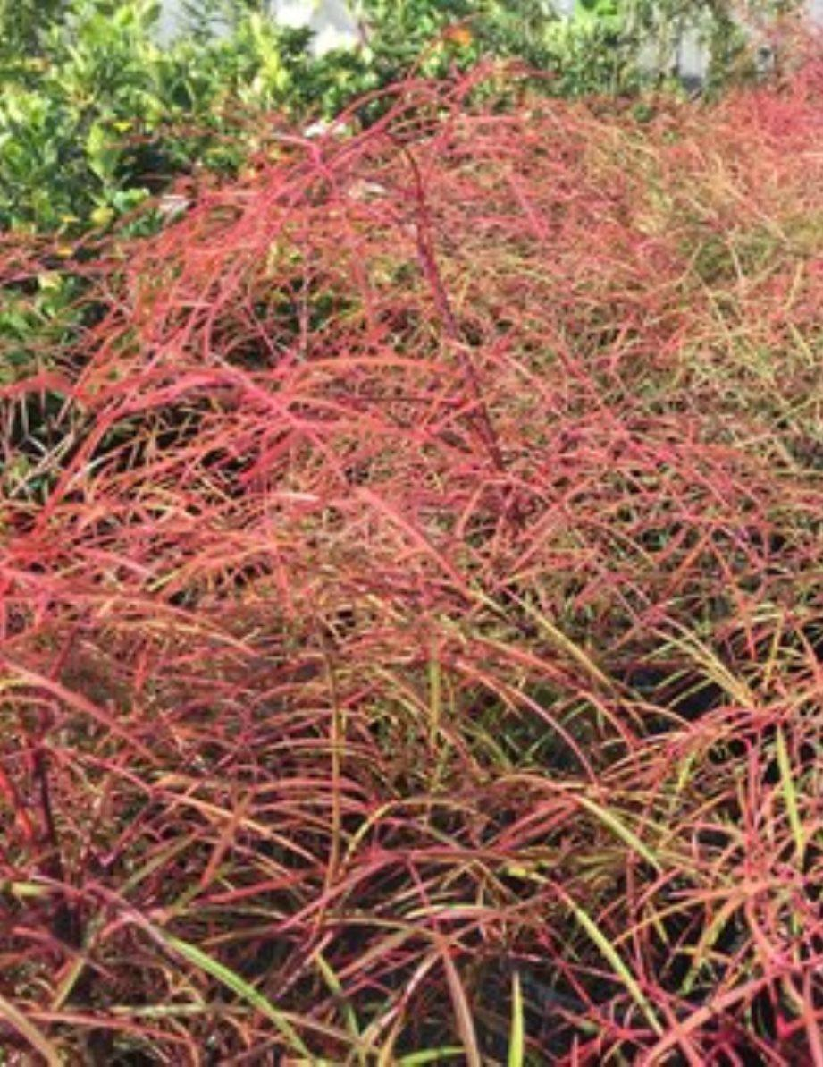 nandina domestica flirt uk An exotic compact shrub with bright red new growth when other nandinas are red in winter, flirt™ nandina is green, but when other nandinas are green in spring, autumn and summer, flirt™ nandina is red.