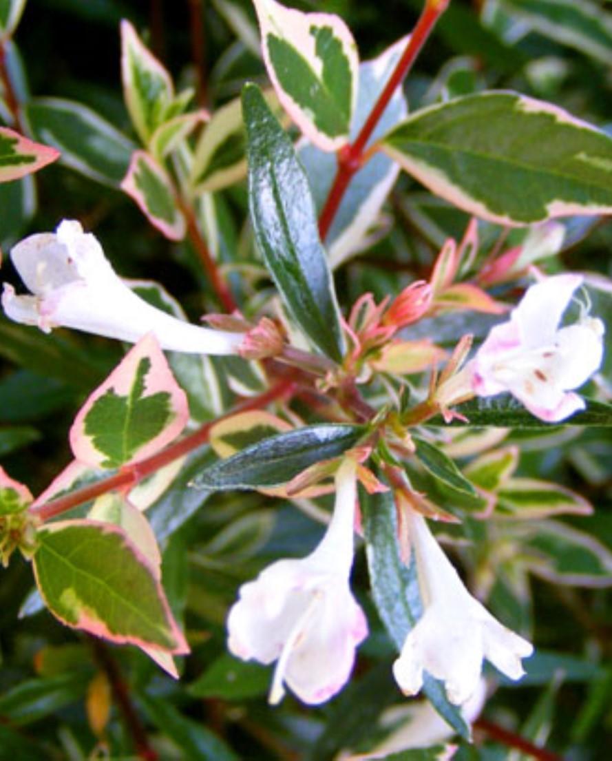 Abelia Chinensis Variegata
