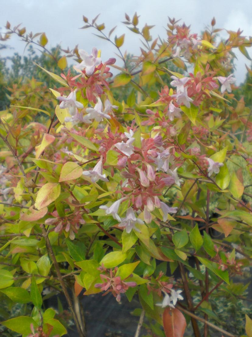Abelia X Grandiflora Francis Mason