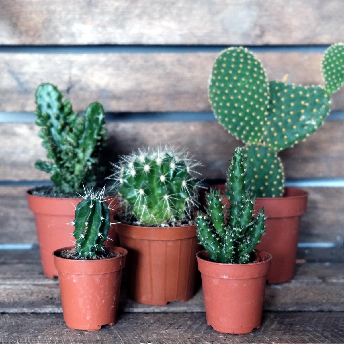 Cactus Albert Moo