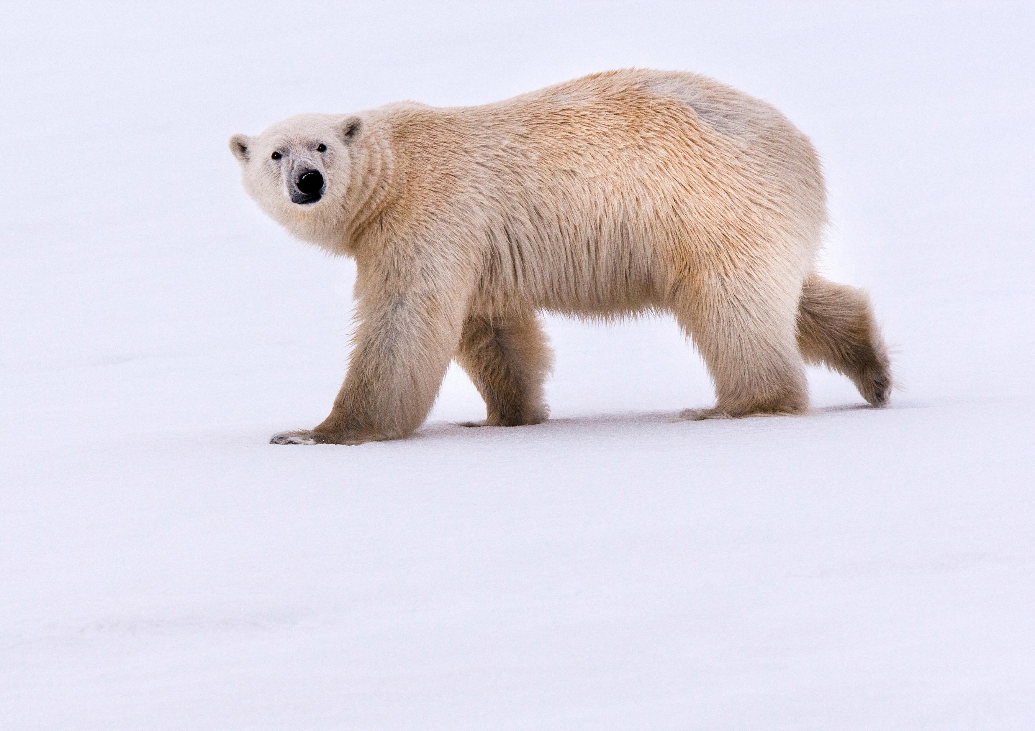 Wildlife Photography Polar Bear Norway