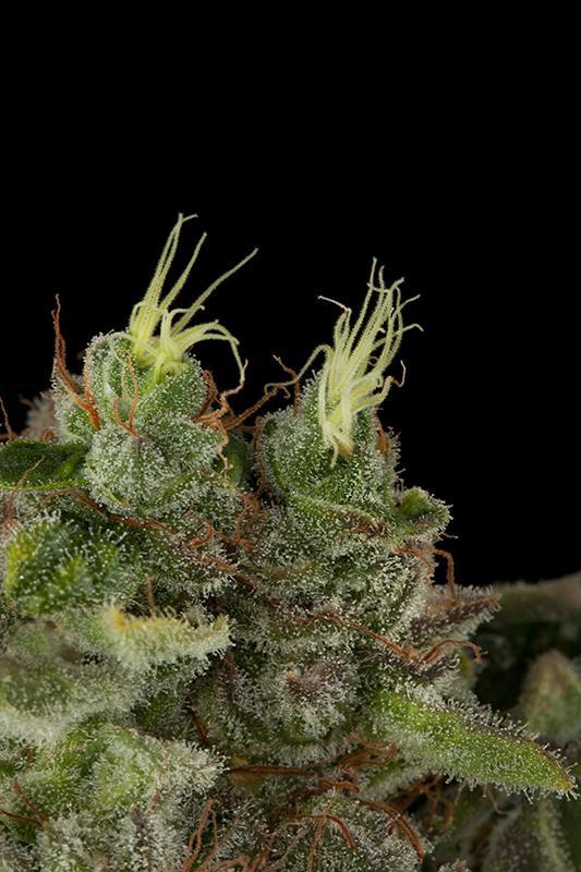 Bubba Kush Feminised- HS Seeds | Humboldt Seeds | Cannabis Seeds