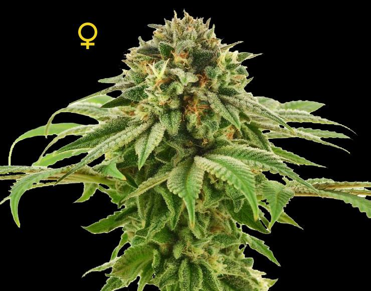 Grape LA Feminised- Limited Collection Seeds | DNA Genetics