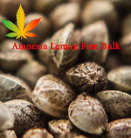 Amnesia Lemon Feminised Seeds - BULK x 100 | Cannabis Seeds