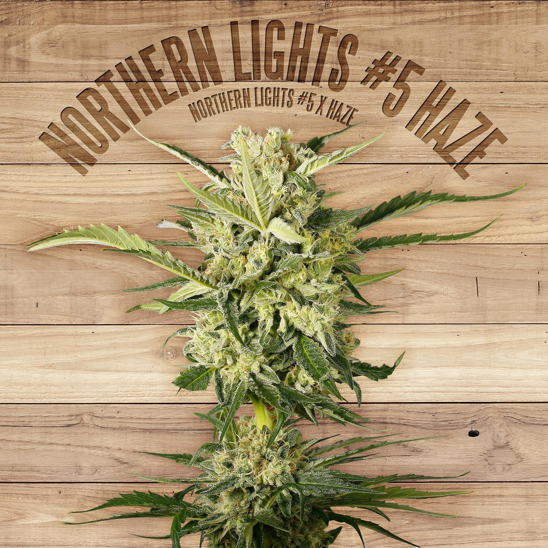 Northern Lights #5 Haze Feminised Seeds   The Plant