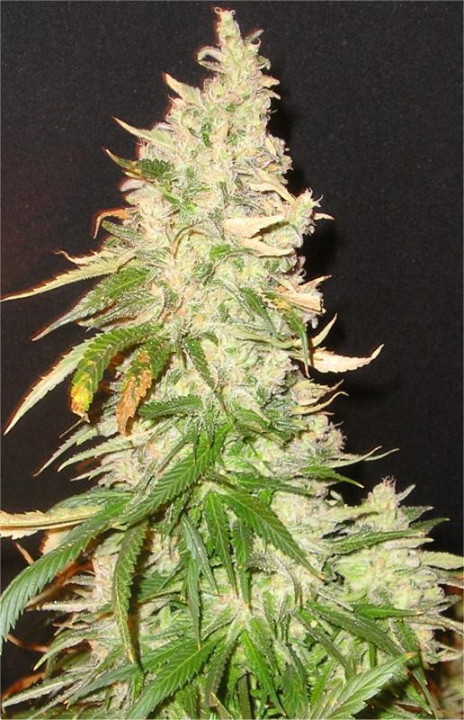 Northern Soul Feminised Seeds - Bulk x 100 | Cannabis Seeds