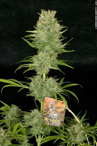 Chocolope Feminised Seeds | DNA Genetics | Cannabis Seeds