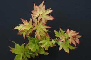 Acer palmatum 'Winter Flame' foliage