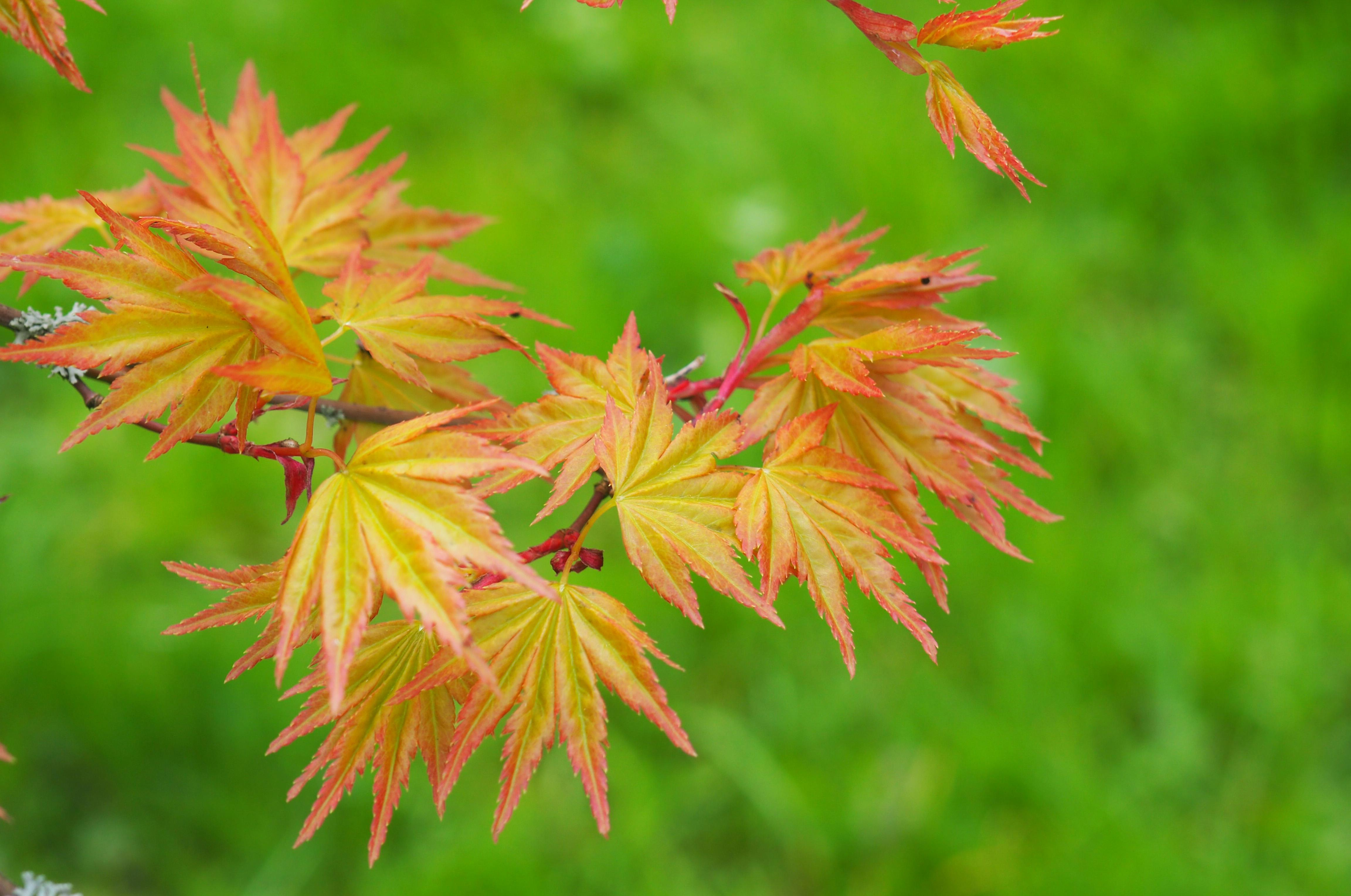 Acer palmatum 'Orange Dream'  foliage