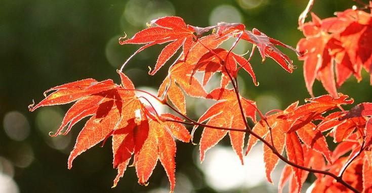 Acer palmatum 'Bloodgood' leaves