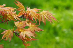 Acer palmatum 'Orange Dream' spring leaf