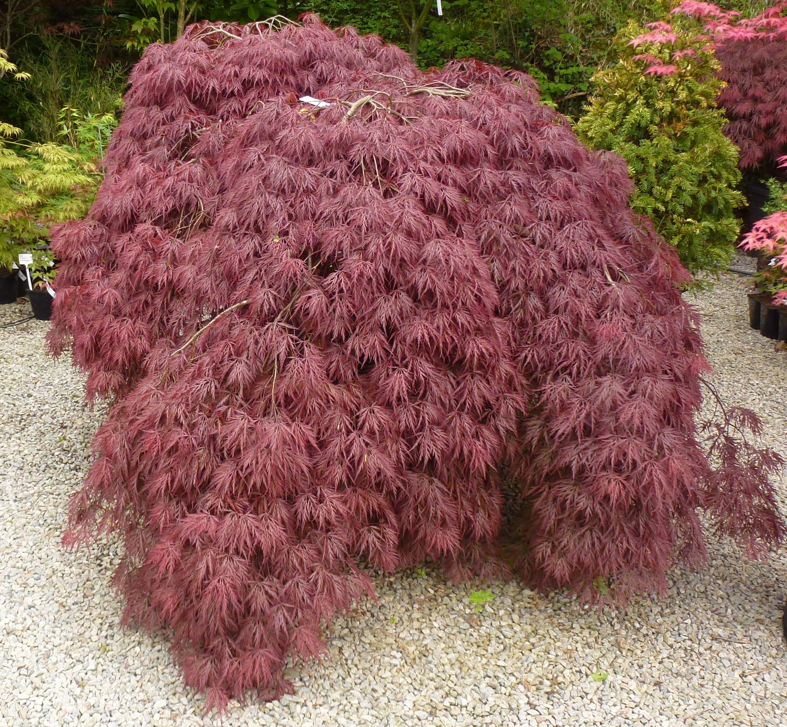 Acer palmatum 'Garnet' shape of the mature tree