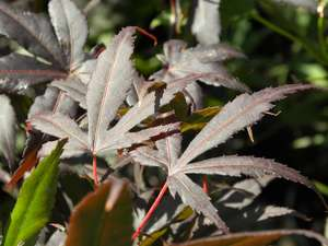 Acer palmatum 'Moonfire' summer colour