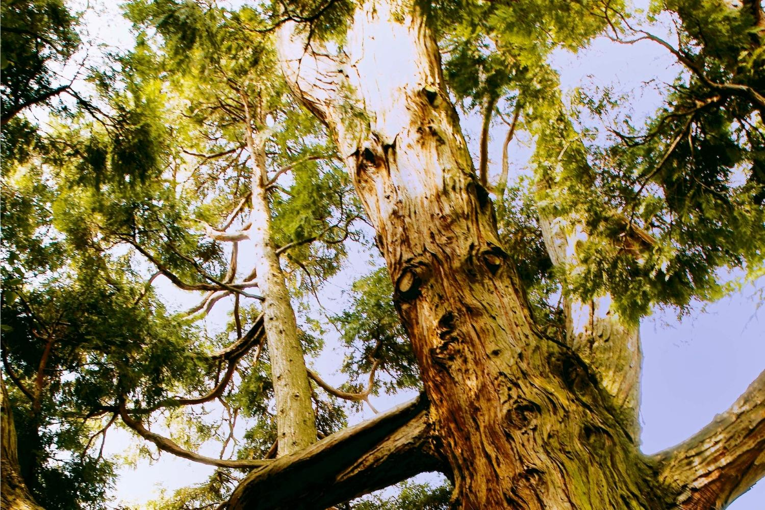 Cedarwood, a common ingredient found in many woody fragrances.