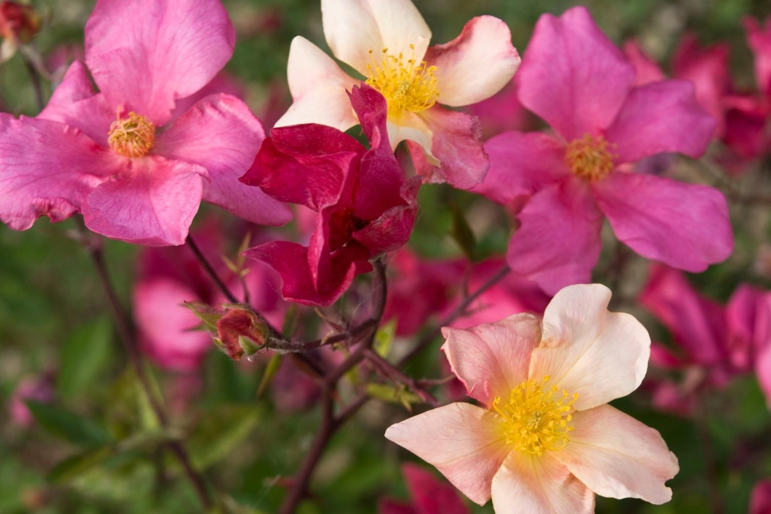 Rose, a cornerstone of the floral olfactory family.