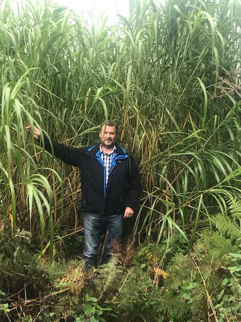 Elephant Grass in the summer - Carbon Trap