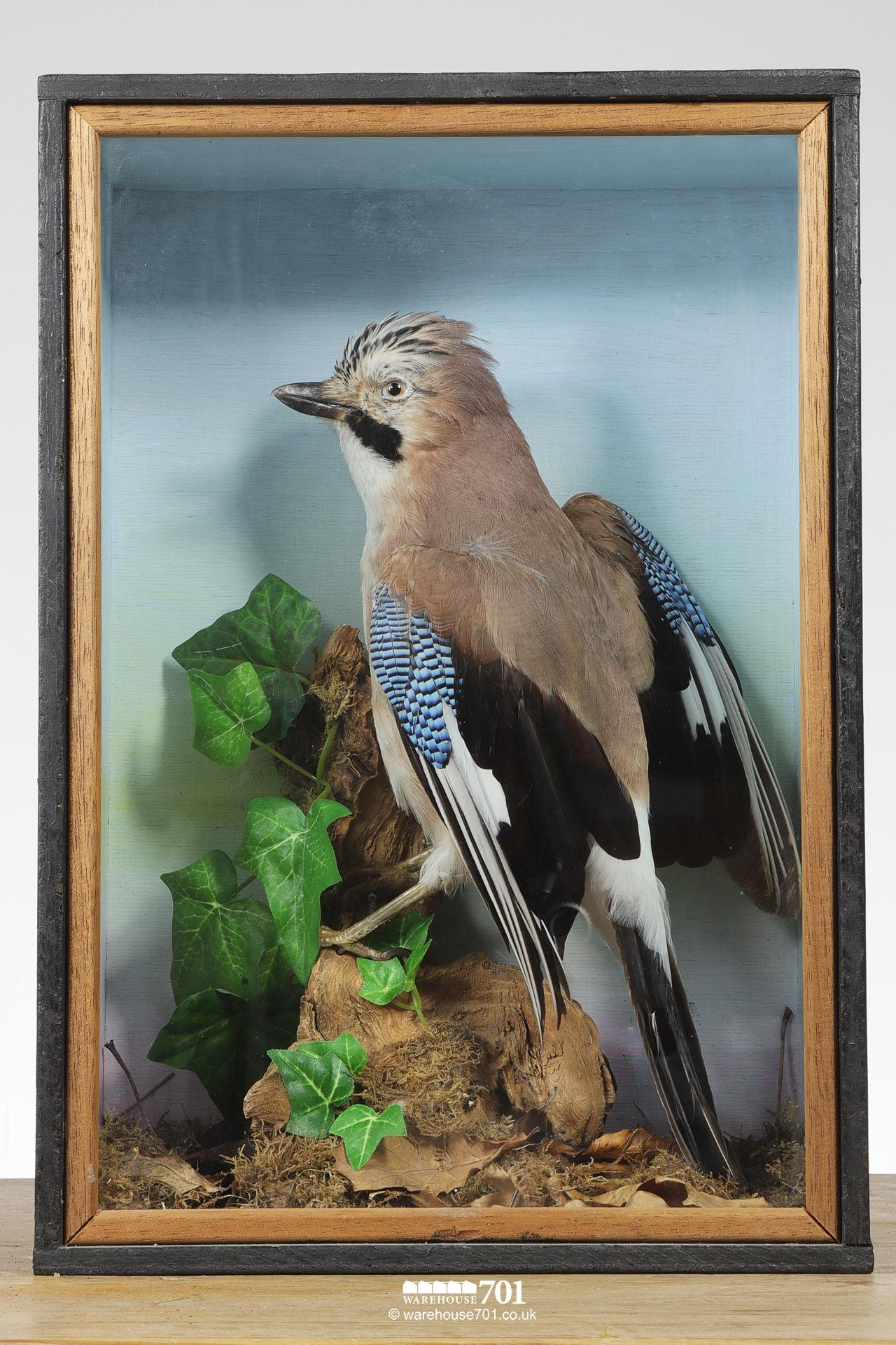 Taxidermy Stuffed Jay Bird in a Glazed Case