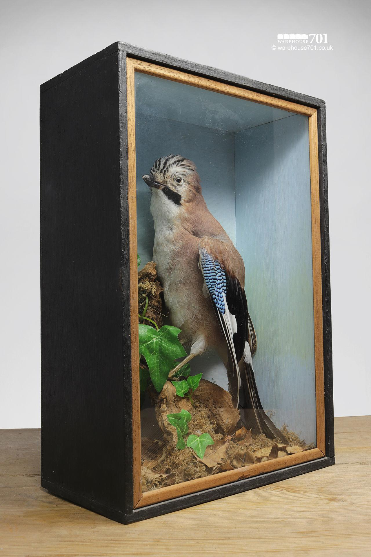 Taxidermy Stuffed Jay Bird in a Glazed Case #3