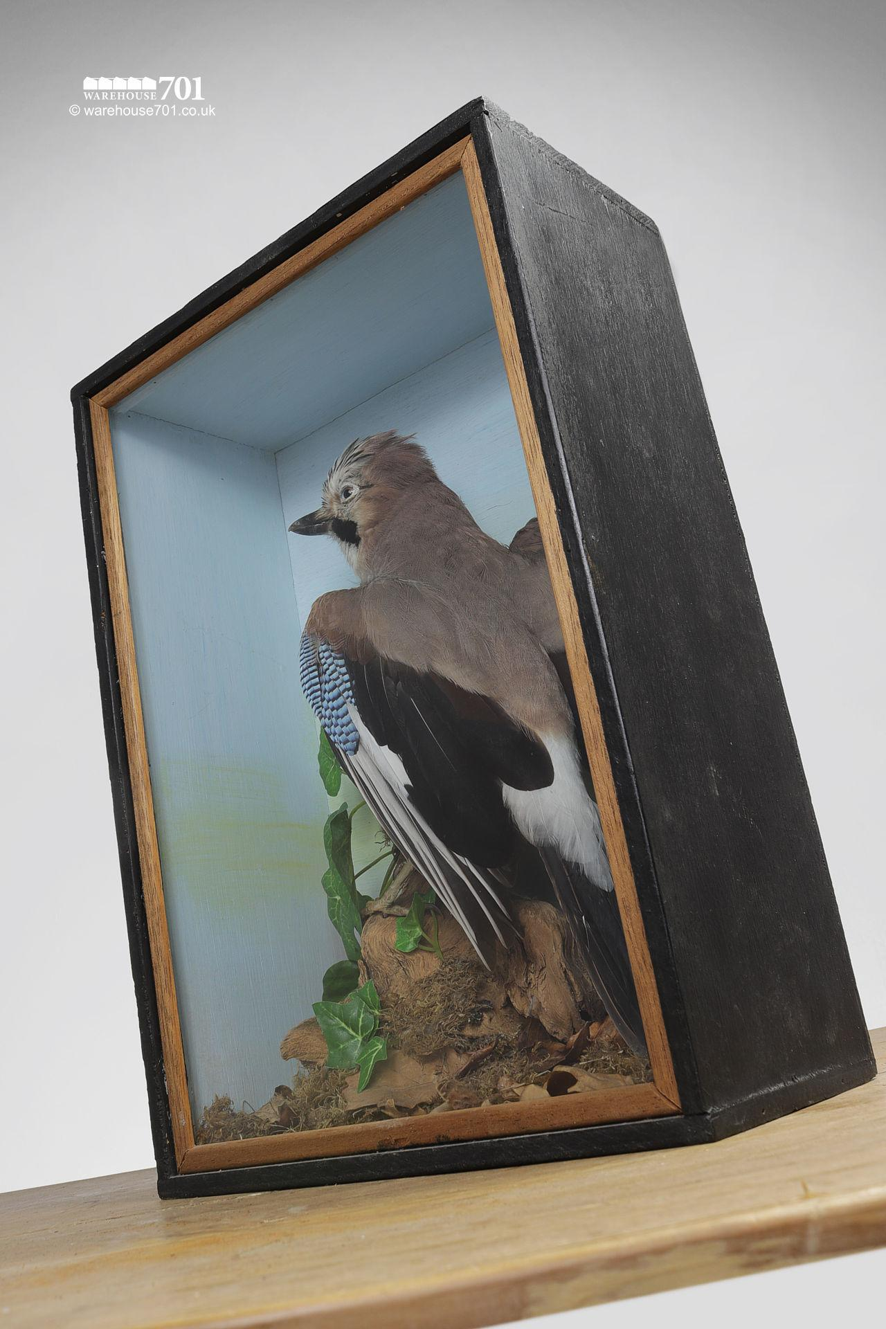 Taxidermy Stuffed Jay Bird in a Glazed Case #4