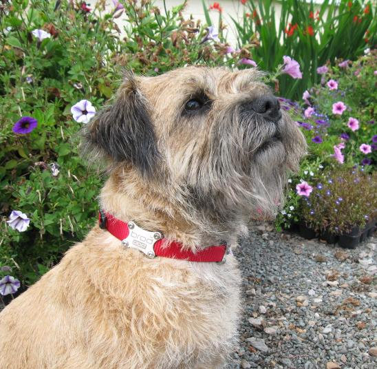 Border terrier magnetic dog collar