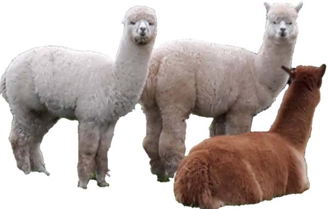 Gorgeous Alpacas