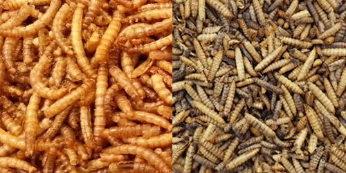 Mealworms & Calci-Worms