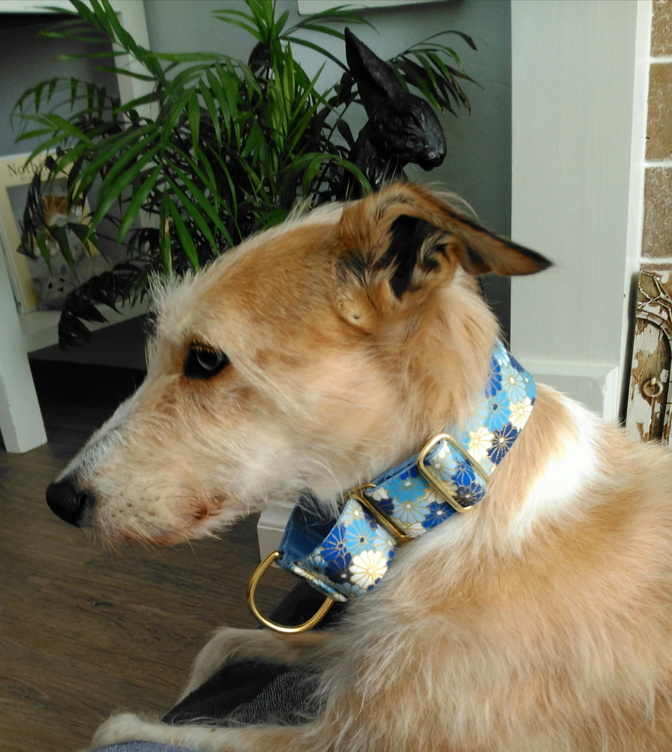 Lurcher wearing blue Martingale collar