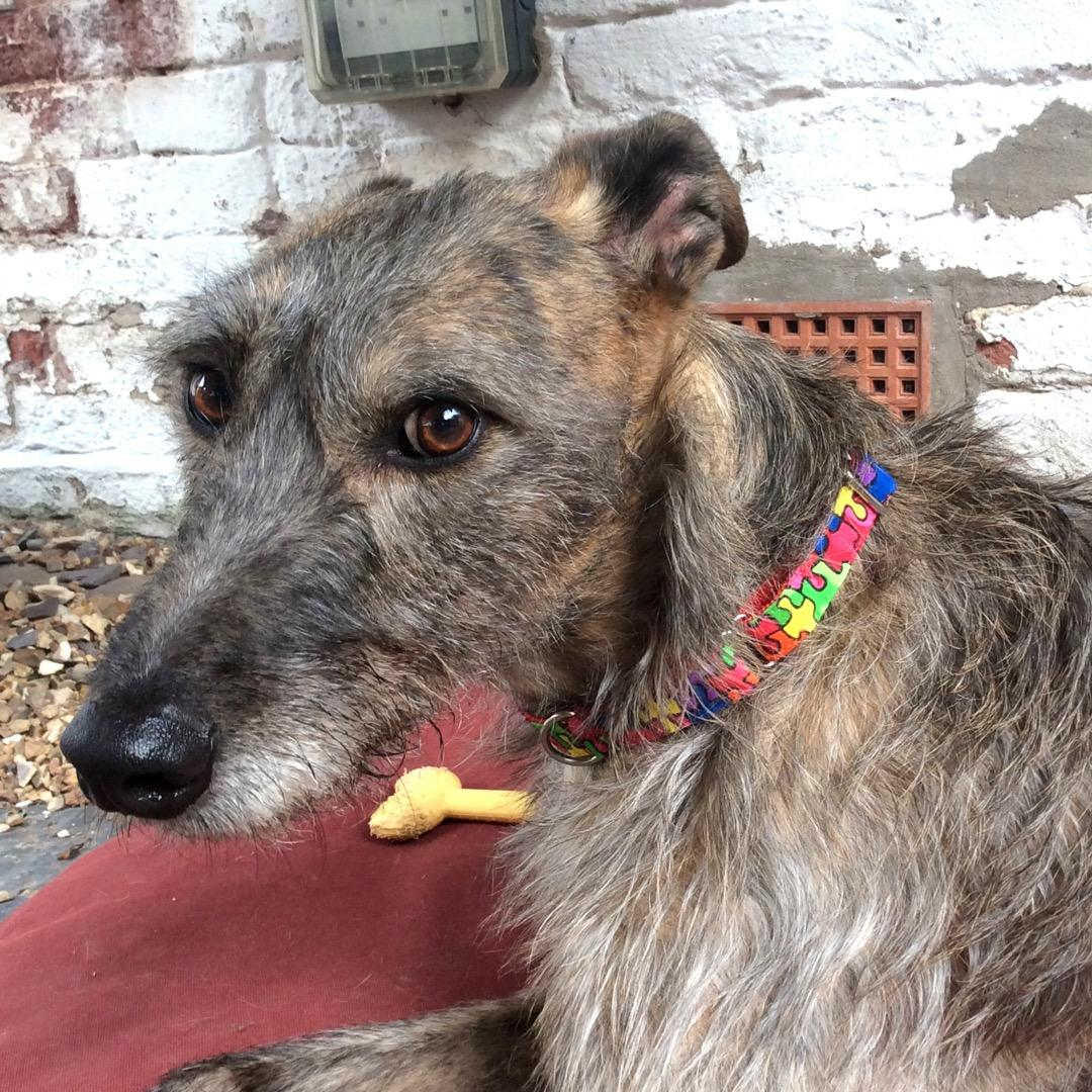 Brax the Lurcher in our jigsaw collar