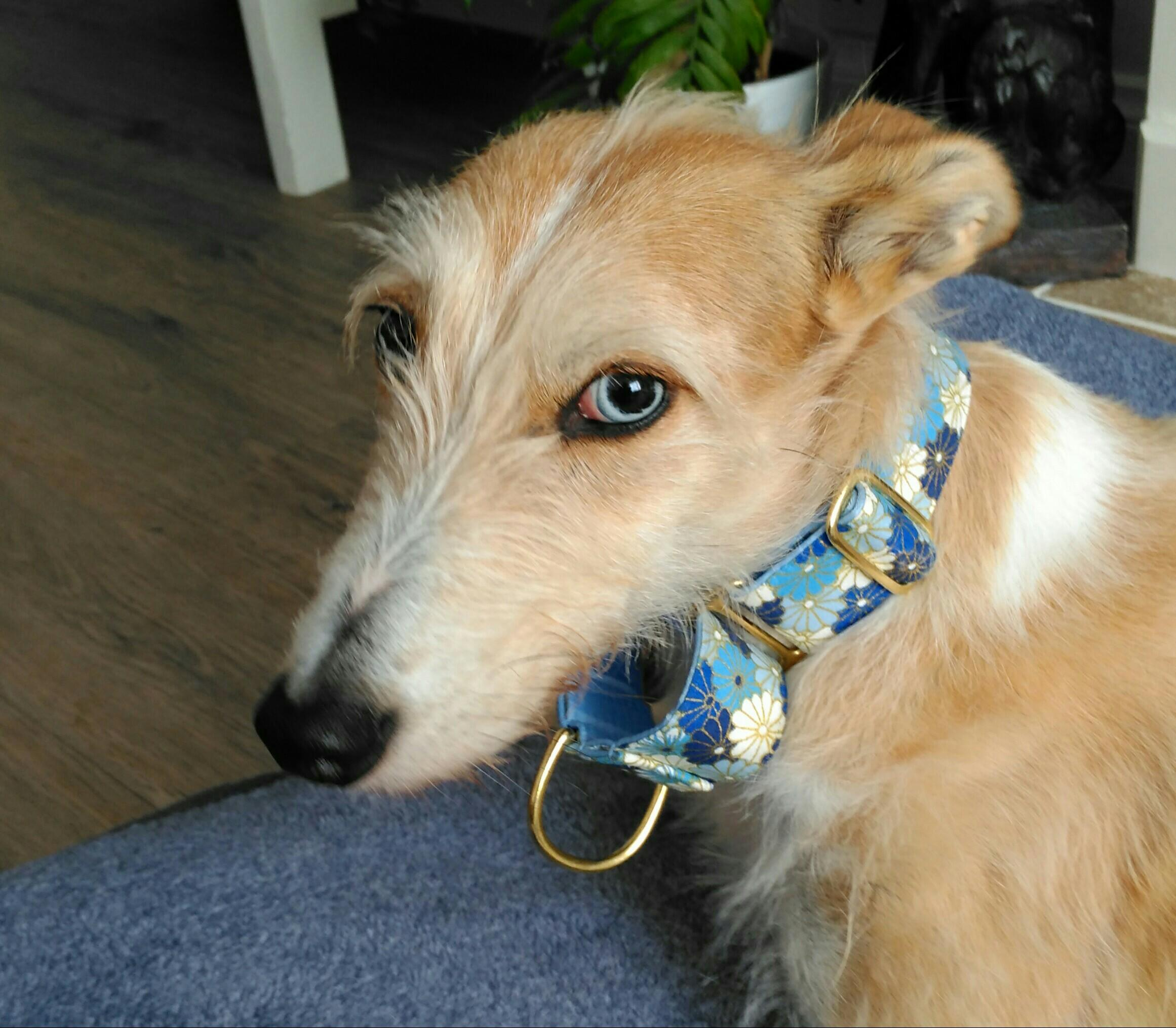 Greyhound /Whippet Posh Collars