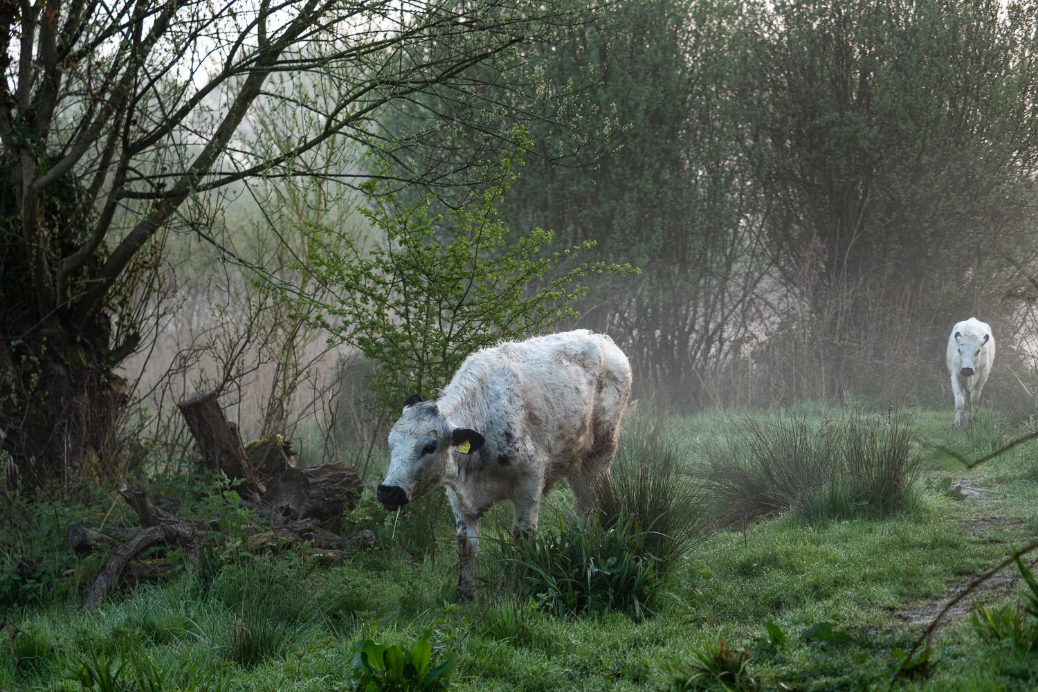 Wild Cattle, the image in our store that created all the fun!