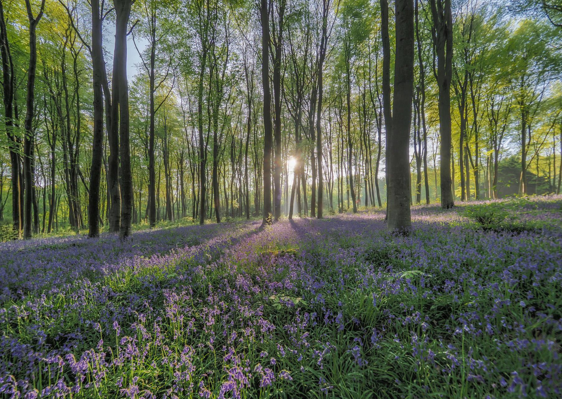 An image called Sunburst Through Blue Bells