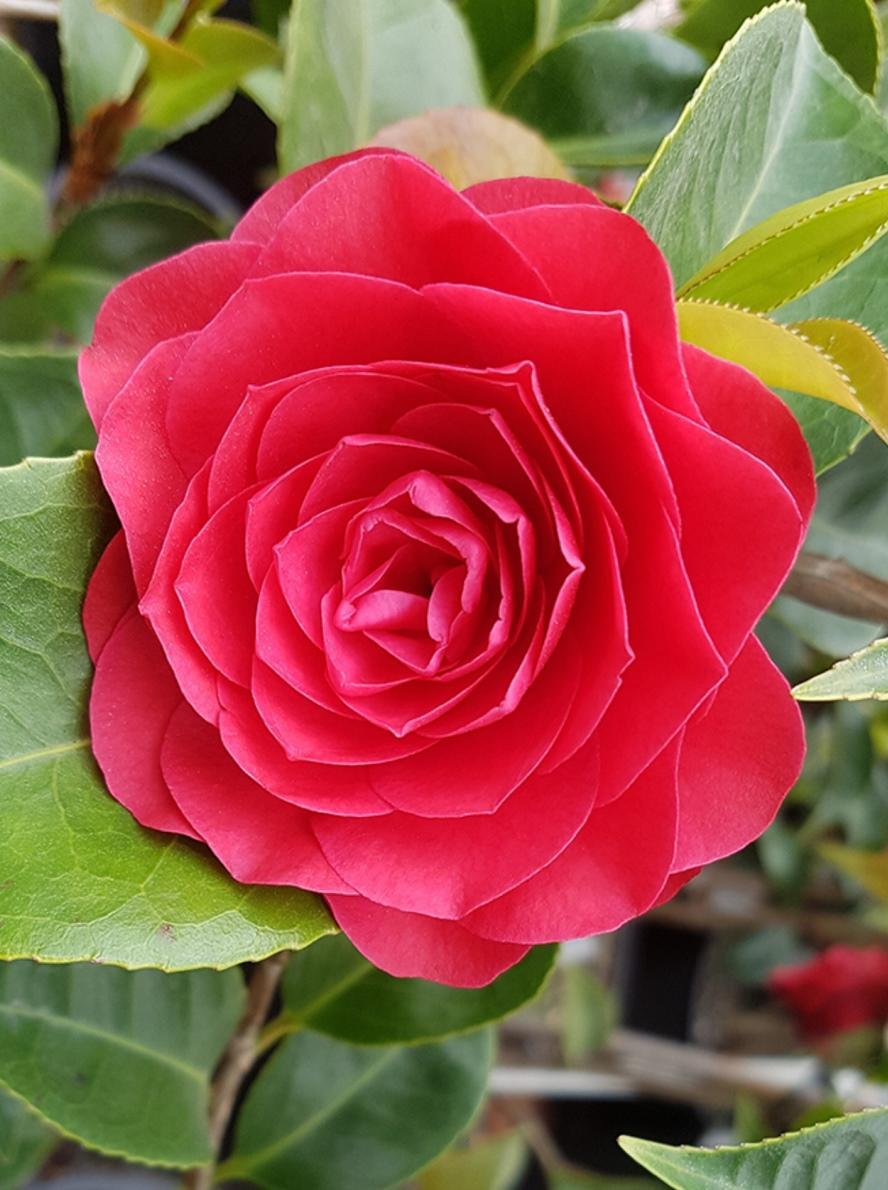 Camellia Japonica Roger Hall camellia japonica roger hall