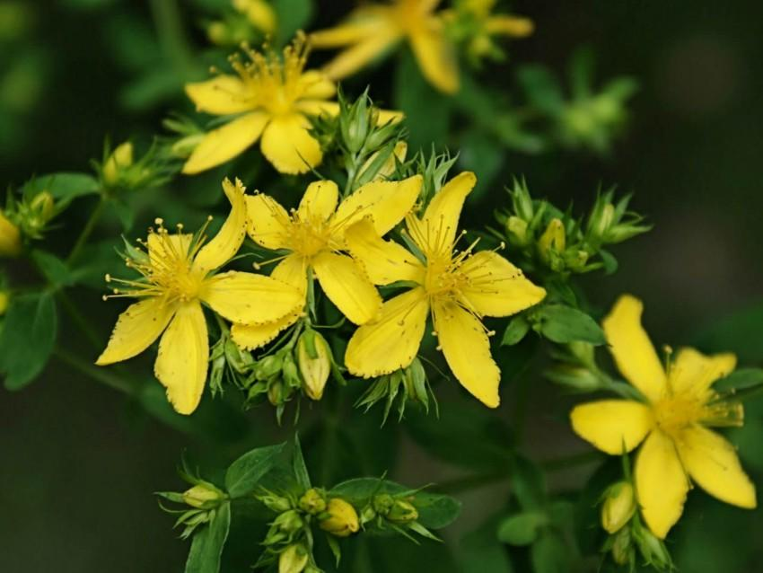 St John's Wort - your questions answered