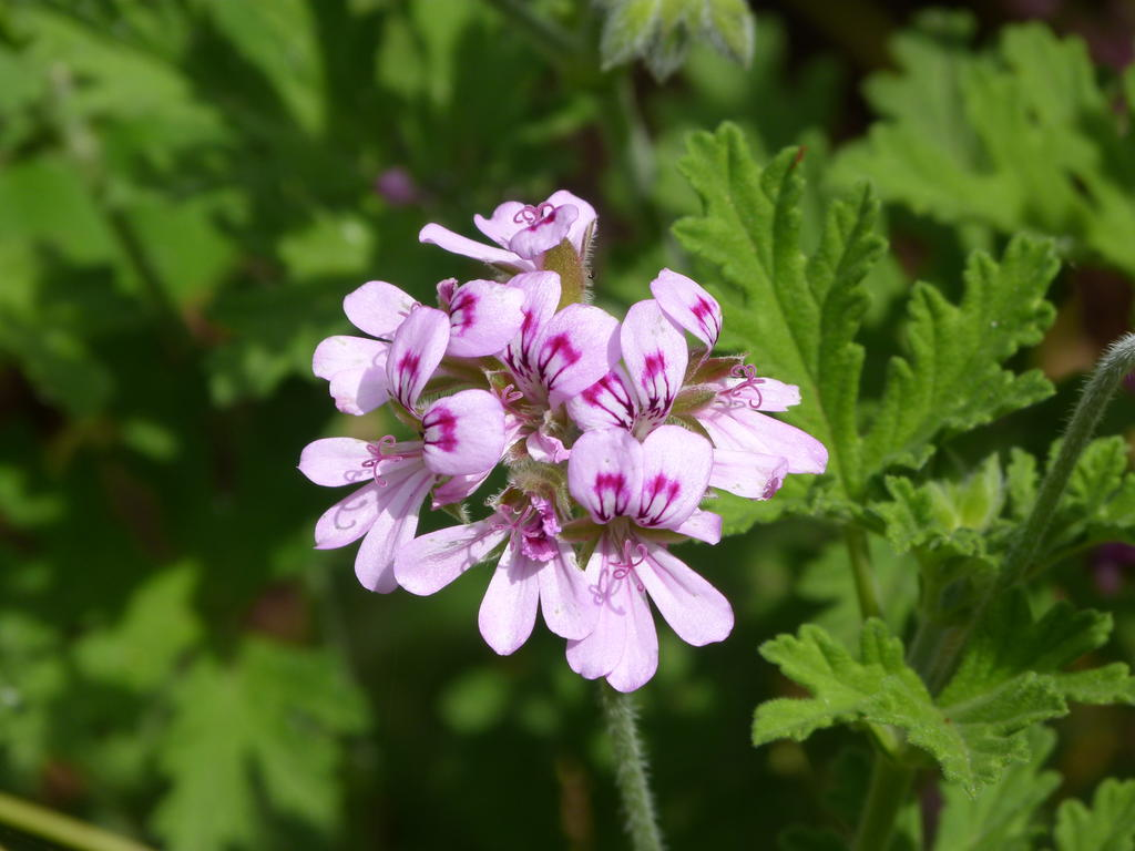 Rose geranium - Your questions answered