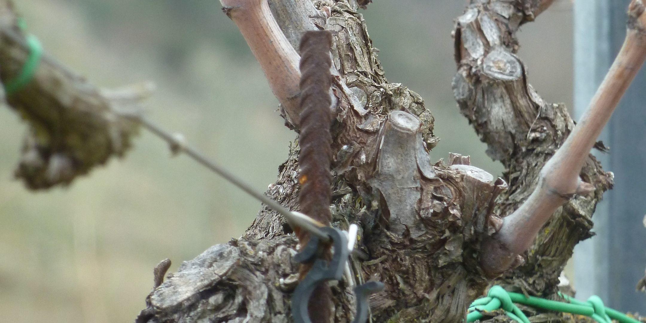 marco merli vines