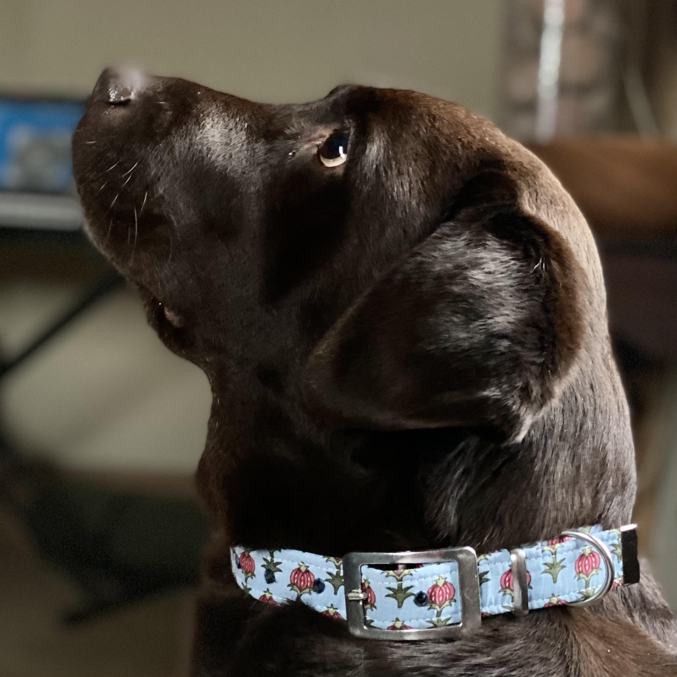 chocolate labrador wearing a light blue floral pattern dog collar