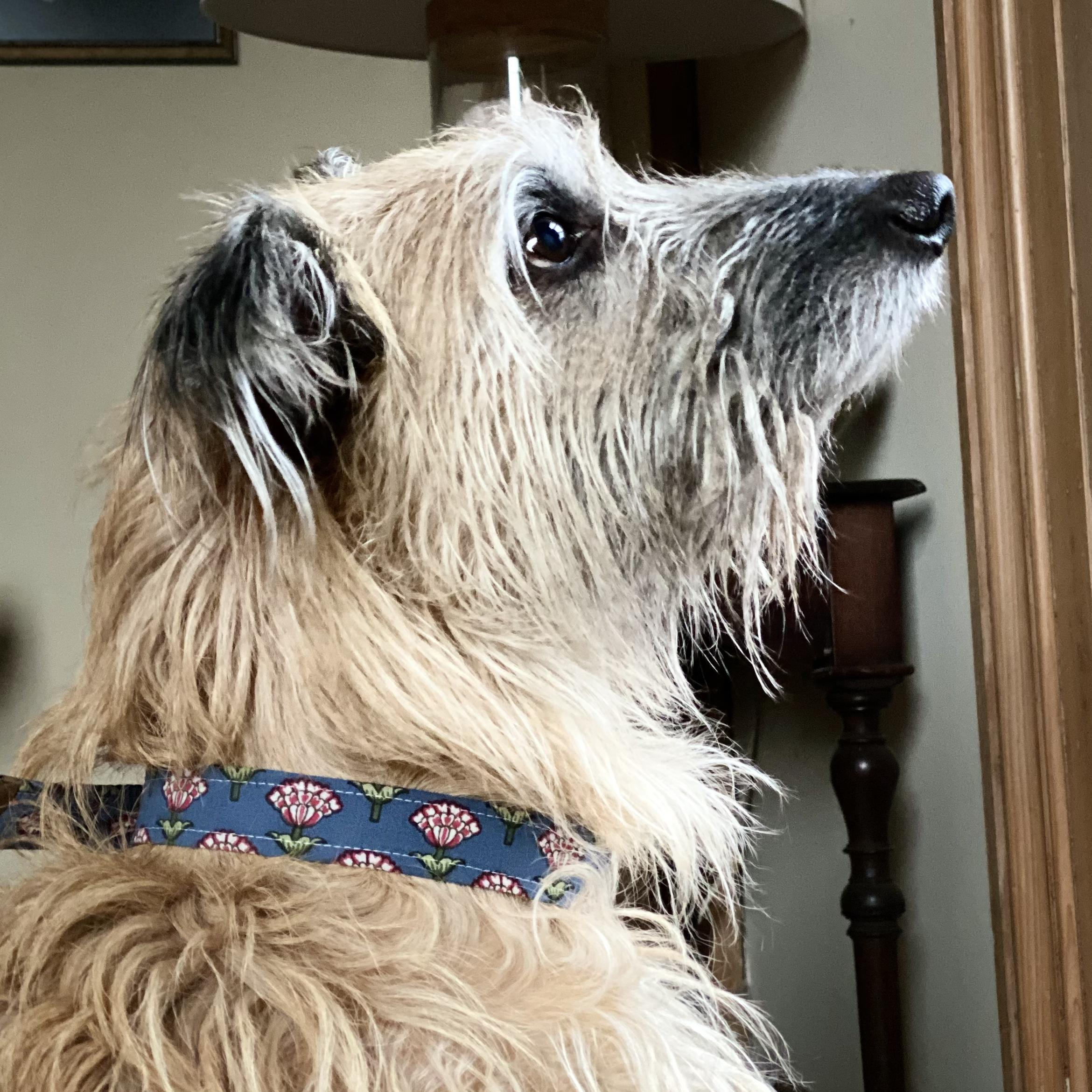 Shaggy yellow dog wearing a blue floral print dog collar with brass buckle