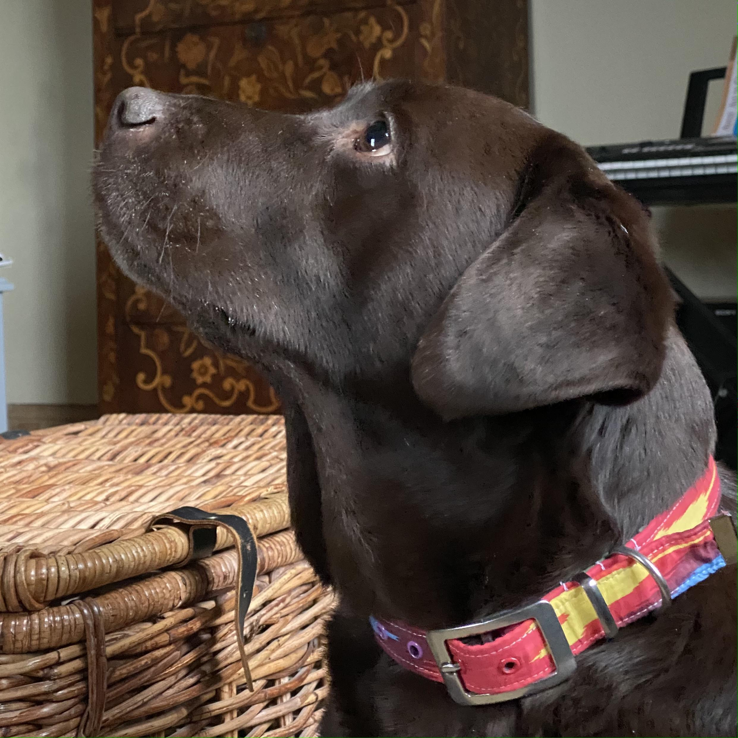 Chocolate labrador wearing brightly coloured ikat print collar with brass buckle
