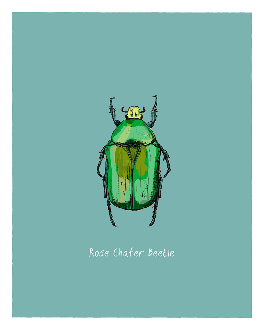 Rose Chafer Beetle print from the series Pollinating Insects of Great Britain by Tom Laird Illustration