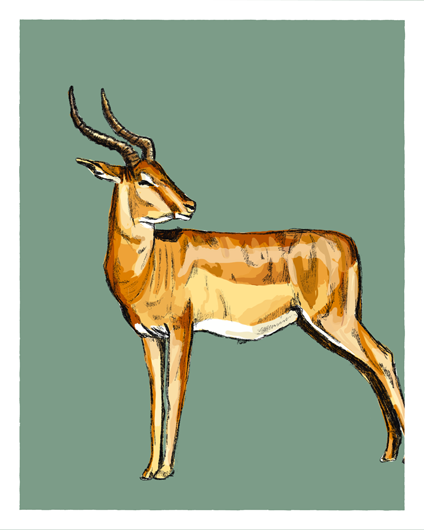 Springbok print from the series Animals of Africa by Tom Laird Illustration