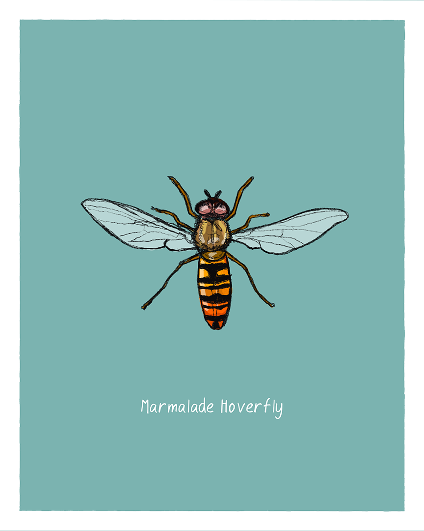 Marmalade Hoverfly print from the series Pollinating Insects of Great Britain by Tom Laird Illustration