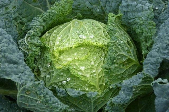 Cabbage (Early)