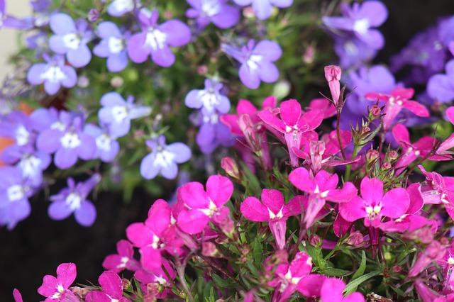 Lobelia with blue flowers and large white centre accompanied by pink lobelia in forefront
