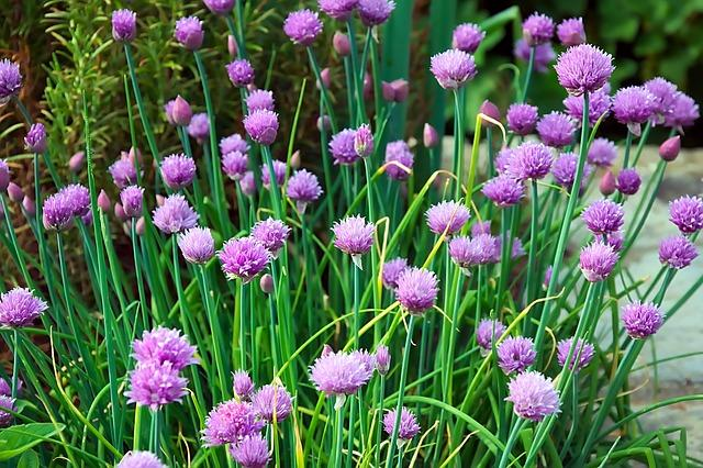 Chives in full bloom with purple flowers