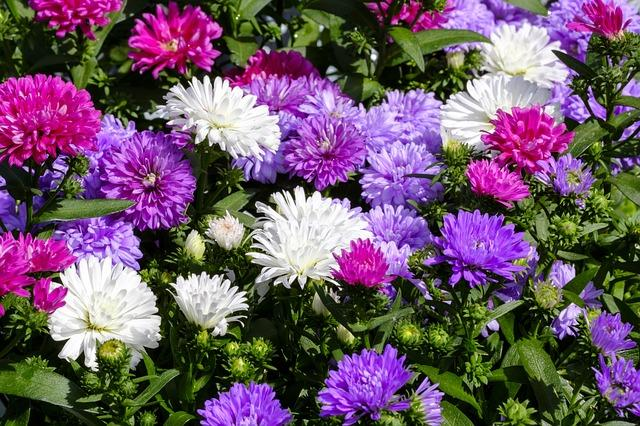 Asters mix