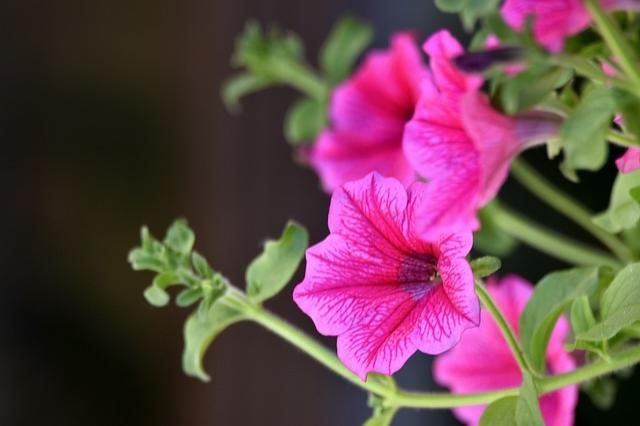 Bright pink flowers hanging from green foliage