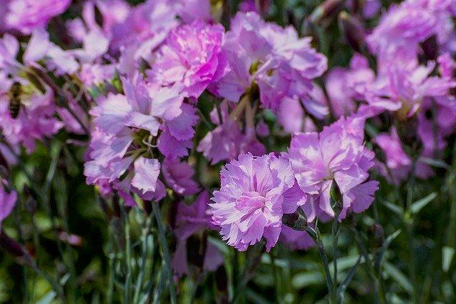 Dianthus Whatfield Can Can